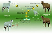 Sheep cloning processes for therapeutic and reproductive uses For therapeutic cloning, DNA is inserted into an enucleated donor egg cell, producing a ...