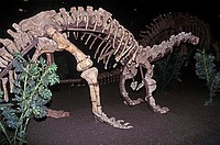 Sauropod dinosaur skeleton from the Jurassic period on display The sauropods were quadrupedal saurischian dinosaurs comprising herbivorous forms with ...