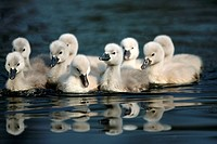 Mute Swan (Cygnus olor), chicks. Germany