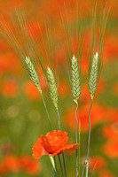 Close up of biological wheat with poppies