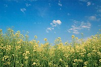 Field of Rape, Rape, Brassica napus, Raps, mustard plant, springtime, Gossau, Zuerich, Switzerland