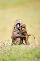 Baboon Male and Baby groom in Nakuru, Kenya