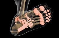 The ligaments of the foot