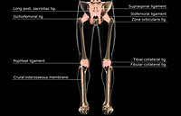 The ligaments of the lower body (thumbnail)