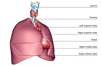 The respiratory system (thumbnail)