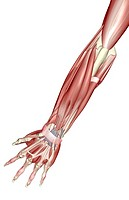The muscles of the forearm (thumbnail)