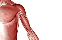 The muscles of the shoulder and upper arm (thumbnail)