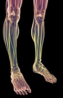 The muscles of the legs (thumbnail)