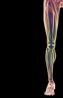 The muscles of the lower limb