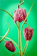 Still life study of Snakes head fritillary (Fritillaria meleagris)