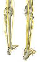 The nerves of the leg