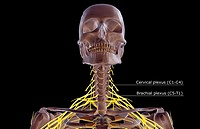 The nerves of the neck (thumbnail)