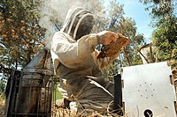 A beekeeper using a smoker and holding a frame covered in bees