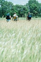 Three hikers walking through field, rear view