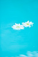 Daisies floating on surface of water