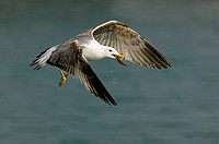 Yellow-legged Gull (Larus cachinnans) fishing