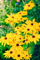 Black Eyed Susan Daisies. Rudbeckia hirta. July 2006, Maryland, USA