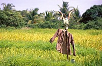 Scarecrow scare crow in rice field , deogad , maharashtra , india
