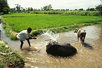 buffaloes taking bath in rice field , india