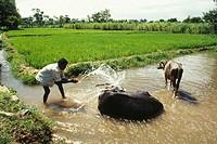 buffaloes taking bath in rice field , india