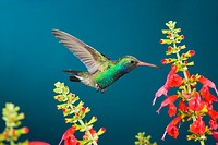 Broad-Billed Hummingbird Feeding