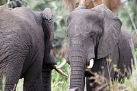 African Bull Elephants with big tusks face off. Malawi