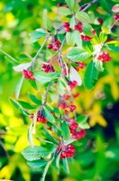 Red chokeberry Aronia arbutifolia ´Brilliantissima´  This plant grows to 2-4 metres tall and is grown as a ornamental plant in gardens  It is resistan...