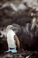 Blue-footed Booby on rock (Sula nebouxi). San Cristóbal (Chatham) island. Galapagos Islands. Ecuador