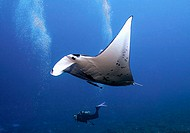 Manta ray (Manta birostris) and scuba dive. Tuamotu archipelago. French Polynesia