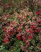 Fuchsia magellanica var  gracilis ´Versicolor´