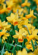 Narcissus cyclamineus JETFIRE  Clump of daffodils