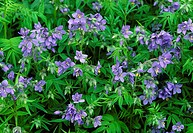 Jacob´s ladder flowers Polemonium yezoense