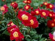 Peony flowers Paeonia lactiflora