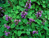 Sage Salvia officinalis ´Herrenhausen´