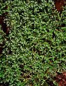 Valerianella locusta  Cornsalad in flower