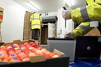 Import inspection  Port health authority inspector pipetting biological samples from a cargo of apples into a Smartcycler DNA amplifier  Photographed ...