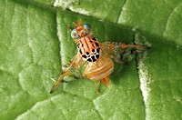 Mango fruit fly Ceratitis cosyra on a leaf  This species of fruit fly feeds on mango and marula fruit  It is a serious pest of mango crops in sub- Sah...