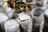 Polistes wasp, Polistes gallicus, beginning to hatch, closely watched by one of its sister workers