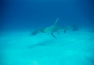 Great hammerhead shark Sphyrna mokarran  This shark grows up to 4 metres in length and feeds on small sharks, stingrays, squid and bony fish  Photogra...