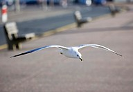 Ring billed gull Larus delawarensis flying over a promenade  This gull can grow up to 49 centimetres in length and have a wingspan up to 124 centimetr...