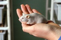 Lab rat  Albino brown rat Rattus norvegicus in the palm of a hand  This breed is widely used in medical and biological experiments  It is easy to keep...