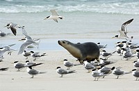 Australian sea lion Neophoca cinerea on a beach amongst a flock of seagulls  This sea lion is found only on the southern coast of Australia  It feeds ...