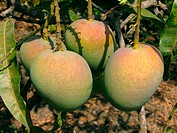 Alphonso mangoes hanging on a tree. Mangifera indica L. - Anacardiaceae, Alphonso mango. The flesh of a mango is peachlike and juicy, with more or les...