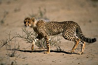Cheetah (Acinonyx jubatus). Kalahari-Gemsbok National Park, South Africa