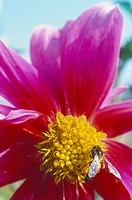 dahlia in garden with bee , alwar , rajasthan , india