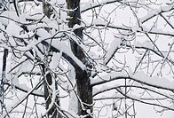 Snow covered over branches , manali , himachal pradesh , india