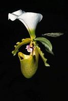orchid lady´s slipper Paphiopedilum spicerianum , arunachal pradesh , india