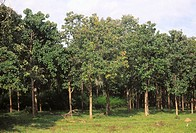 Teak trees plantation Tectona grandis , kerala , india