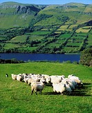 Sheep, Benbulben, Co Sligo, Ireland