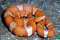 A transpecos copperhead, coiled